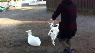 前回の動画に続いてMAHの誕生日に行った温泉旅行での動画です。 ヤギの...