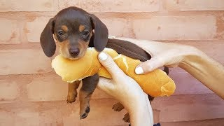 33 Cute and Funny Dachshund Videos Instagram | Adorable Sausage Dogs