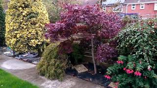 Japanese Maples - Mature Acer Bloodgood And Acer Dissectum