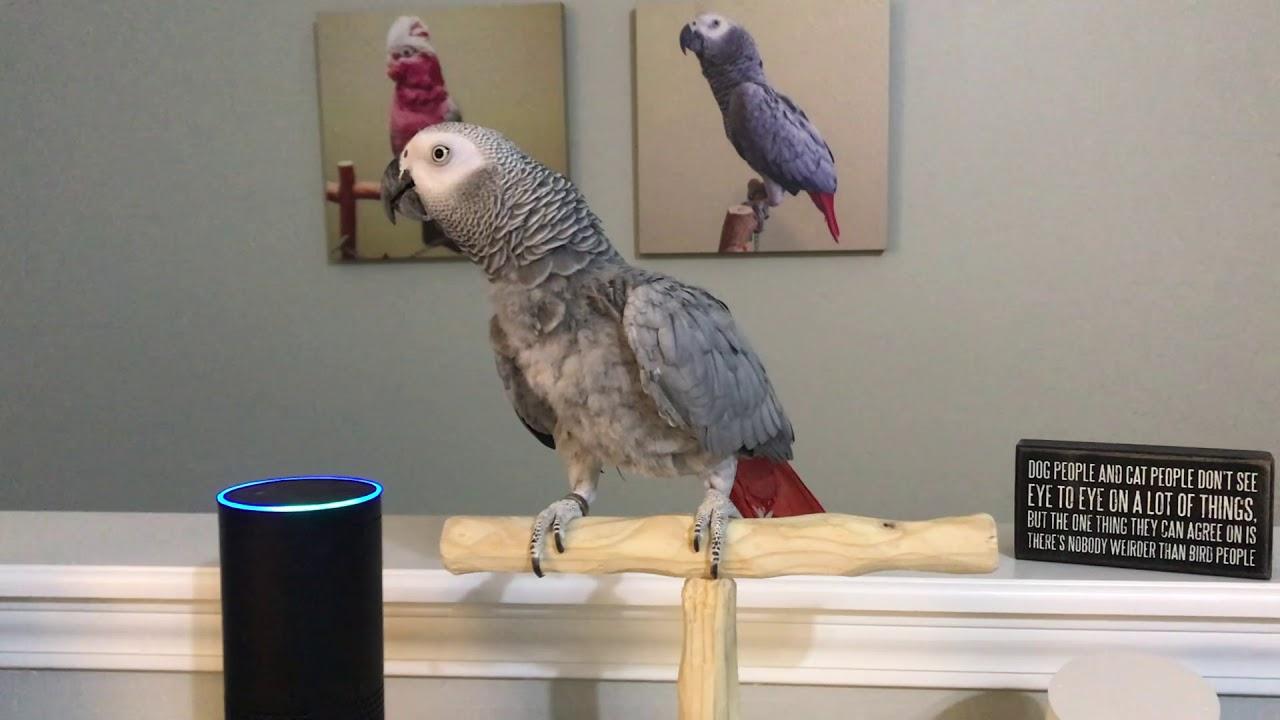 Papagei spricht mit Alexa
