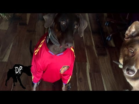Free Halloween Costumes For Large Dogs | Kaia the Doberman
