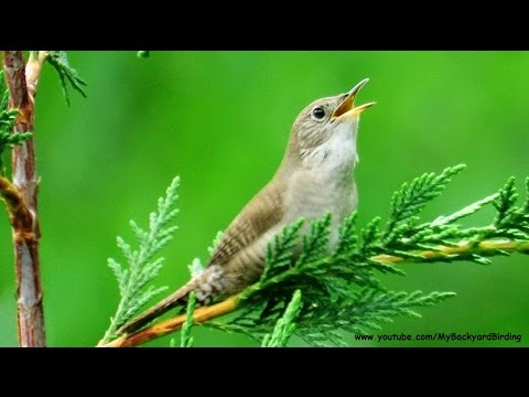 House Wren Song