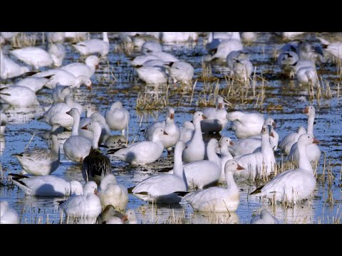 Nature: Snow geese