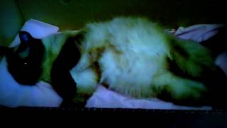 Моя кошка беременна! УРА ! Скоро котята родятся!