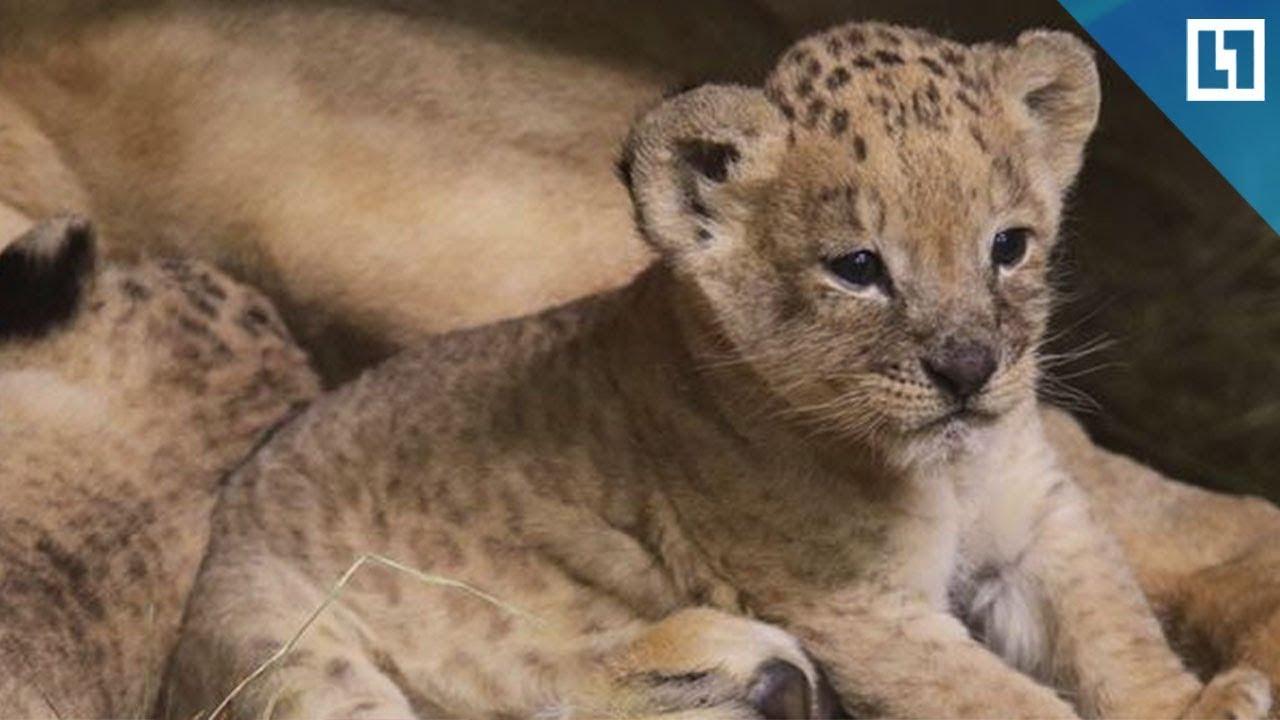 Львята родились в Ленинградском зоопарке