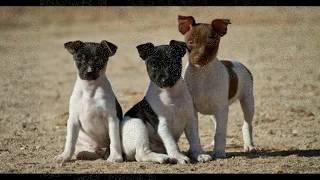 Как выглядят породы собак (Японский терьер)