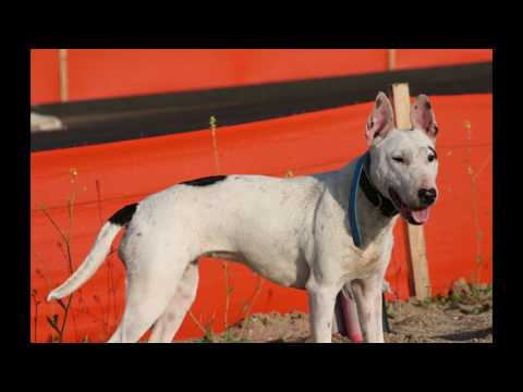 Indian Bull Terrier best breed 2018