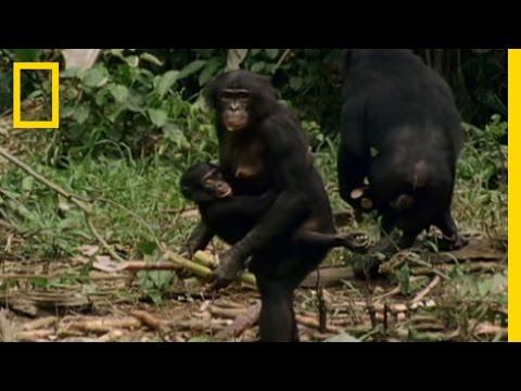 Bonobo: the Female Alpha | National Geographic