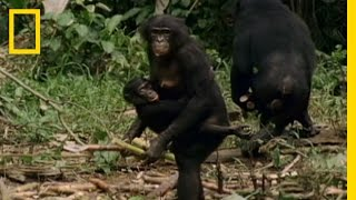 Bonobo: the Female Alpha | National Geographic