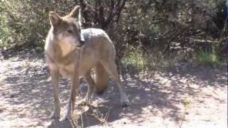 Mexican Gray Wolves Making a Comeback