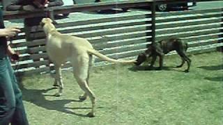 doggrowさんのご紹介でステラ、秘書ちゃん(♀10ヶ月)のお姉さんと遊ん...