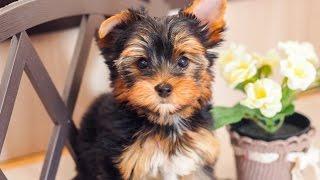 Чудесная нежная девочка Йорк / Купить щенка йоркширского терьера