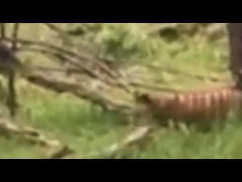 Herald Sun 2017 Potential Tasmanian Tiger Sighting