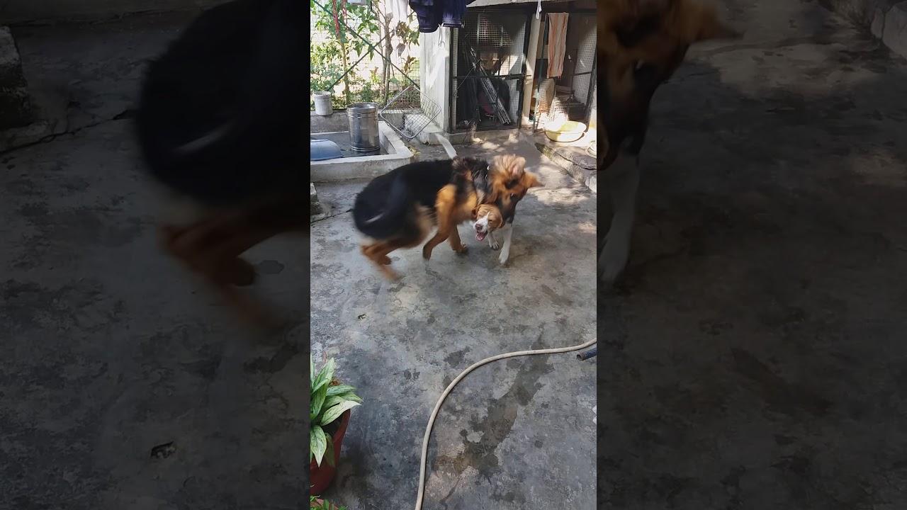 Beagle hound vs GSD real fight