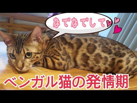 ベンガル猫のベルが再び発情期に入りました!