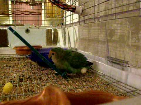 Baby The Lovebird: Laying Eggs