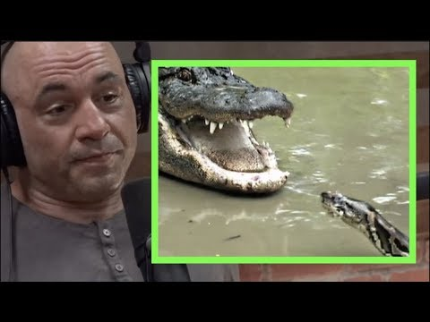 Joe Rogan | Pythons & Alligators Are Battling in the Everglades