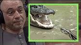 Joe RoganPythons & Alligators Are Battling in the Everglades