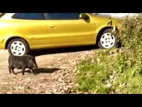 Un cerdo vietnamita se pasea por Chantada