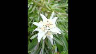 видео Цветок любви, звезда Востока… Это эдельвейс