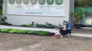 毎日お買いものにやって来る犬…小っちゃいのにえらい!(動画)