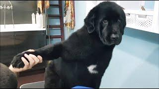 Bathing A Newfoundland Dog Whole Process