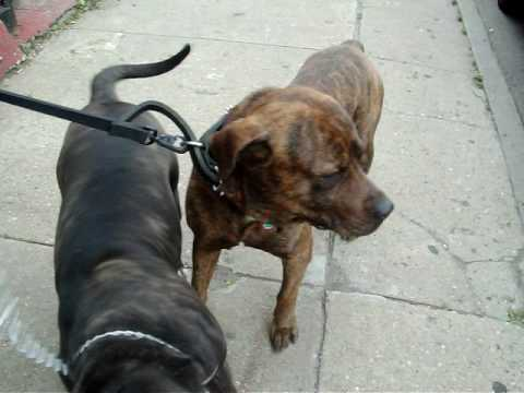 Male Bullmastiff Mixed With Pitbull And Rottweiler And Female Cane