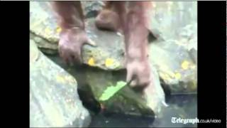 Orangutan salva a un ave de ahogarse