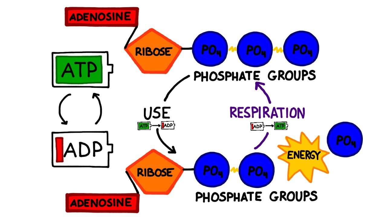 ATP in Photosynthesis - YouTube