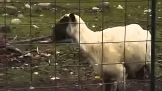 Slayer - Goat of Death (Goat Screams Like A Human)