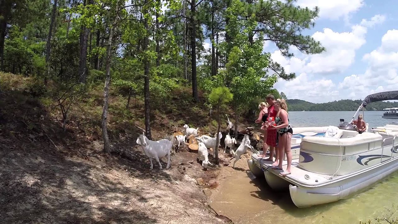 goat on a boat at billy goat island lake martin youtube
