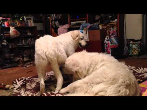 Beau the Great Pyrenees and Ava the Maremma Sheepdog