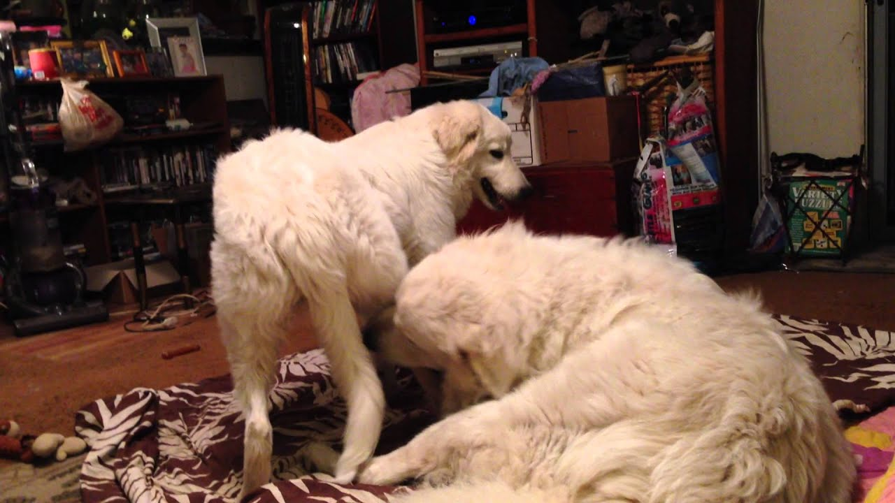 Beau The Great Pyrenees And Ava The Maremma Sheepdog Youtube