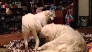 Beau the Great Pyrenees and Ava the Maremma Sheepdog