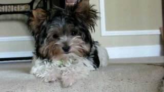 Juju The Biewer Yorkshire Terrier