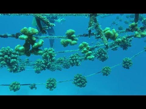 Coral Reef Gardening Episode 12