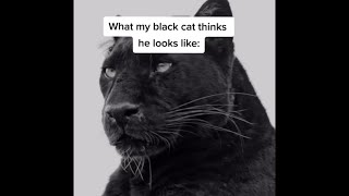 What my black cat thinks he looks like: (Tiktok) by @marythecrackheadcat