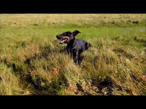 Chester the Manchester Terrier and the very wet meadow
