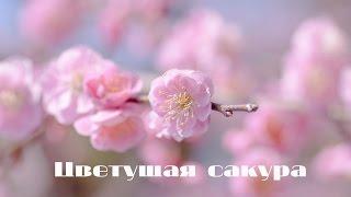 Цветущая сакура! Очень необычный взгляд!(Цветущая сакура! Очень необычный взгляд! ♡ http://yourtube.com.ru/club ♡ ♡Cherry blossoms! Very unusual look!, 2015-06-04T16:24:24.000Z)