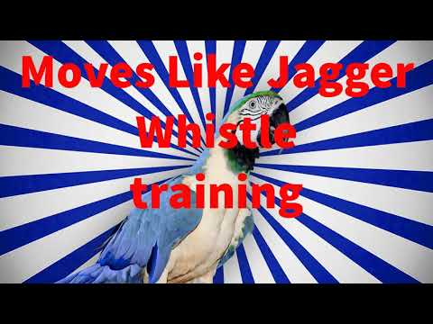 """""""MOVES LIKE JAGGER""""  whistle training budgie and parrot teach learn training"""