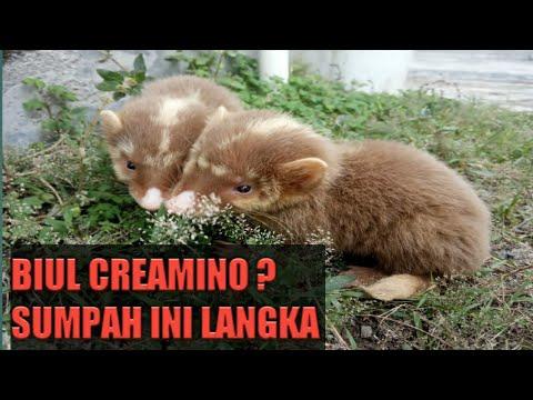 MUSANG BIUL CREAMINO UNIK BANGET !! - YouTube