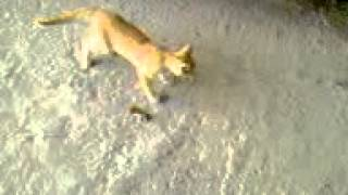 Crazy Afghan Cat and a RAT![1].3gp
