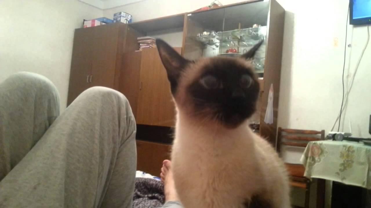 сиамская кошка в гневе. прикол.жесть.