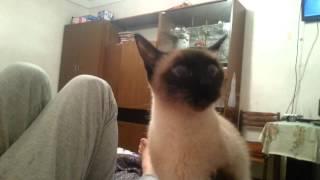 видео Сиамская кошка