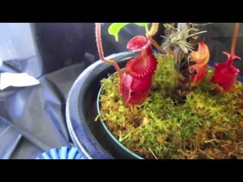 Bay Area Carnivorous Plant Society Show and Sale - 15 Jun 2013