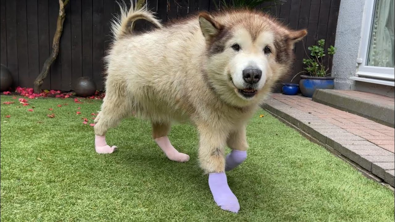 We put socks on our DOG!! What will he do??