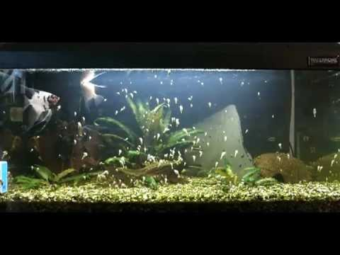 schneckeninvasion im aquarium youtube. Black Bedroom Furniture Sets. Home Design Ideas