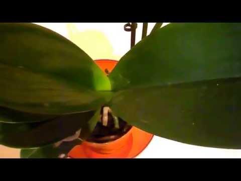 Где поставить орхидею