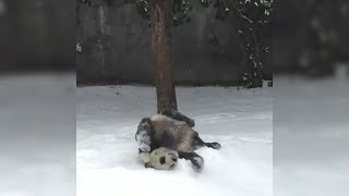 Panda Shows How Much He Loves The Snow By Rolling Around Non-Stop