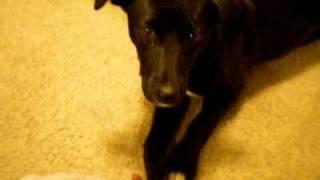 5 Month Old Borador Puppy Doing Tricks!